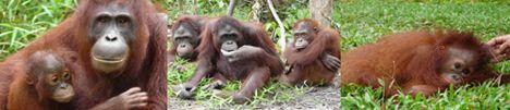 orangutan_island