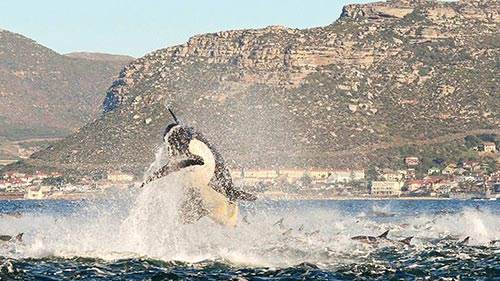 Mega Hunt: Killer Whales of the Cape