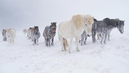 Wild Nordic
