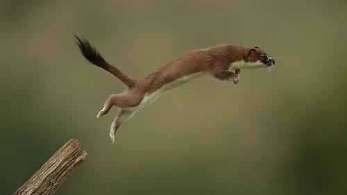 Weasels: Feisty and Fearless
