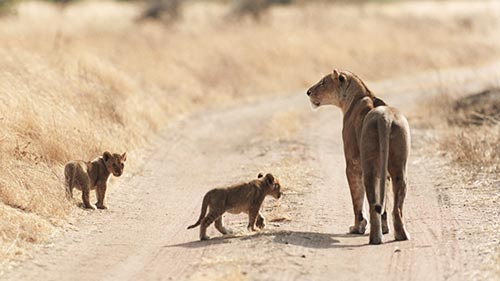 Age of Big Cats