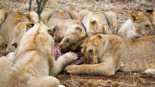 World's Deadliest: Lions