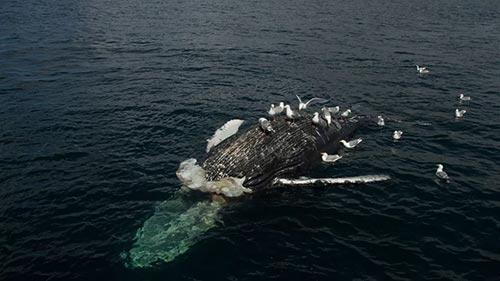 World's Deadliest Whale