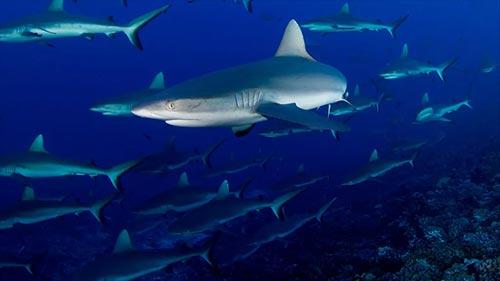 America's Deadliest Sharks