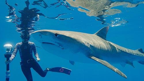World's Biggest Tiger Shark?