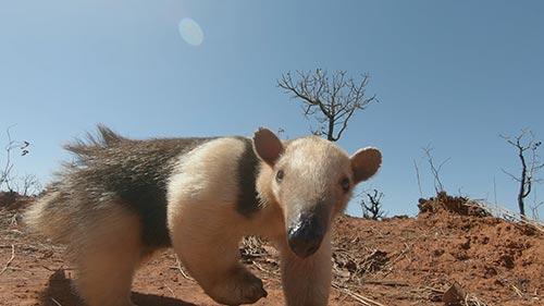 South America's Weirdest Animals