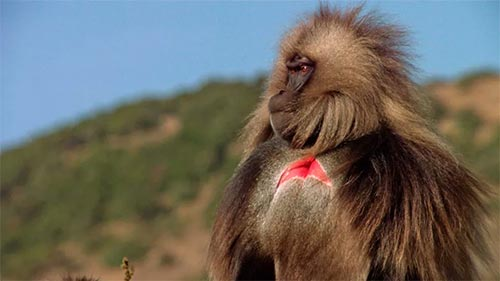 King of the Mountain Baboons
