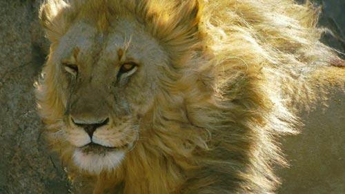 Lions Rule