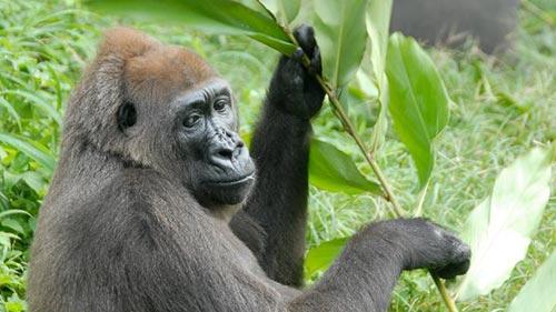 Meet the Gorillas