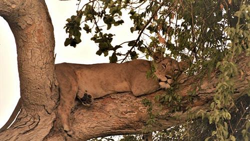 Wild Uganda: Perils of Paradise