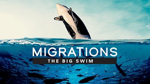 Migrations: The Big Swim