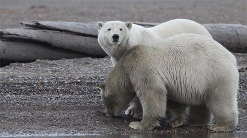 Alaska's Deadliest: Predator Prowl