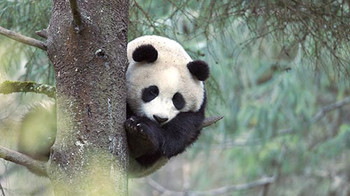 Panda Goes Wild