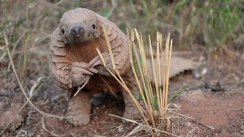 Pangolins - The World's Most Wanted Animal