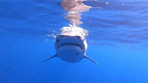 The Sharks of Hawaii